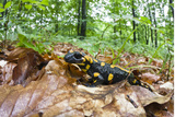 European - Fire Salamander (Salamandra Salamandra) on Fallen Leaves  Male Morske Oko  Slovakia