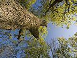 Oak (Quercus Sp) Matsalu National Park  Estonia  May 2009