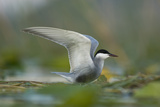 Whiskered Tern (Chlidonias Hybrida) Stretching Wings  Lake Skadar  Lake Skadar Np  Montenegro  May
