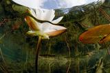 European White Water Lily (Nymphaea Alba) Flower  Bohuslän  Sweden