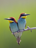European Bee-Eater (Merops Apiaster) Pair Perched  Pusztaszer  Hungary  May 2008