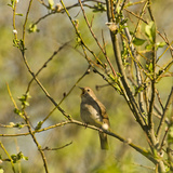 Thrush Nightingale (Luscinia Luscinia) in Tree Singing  Matsalu National Park  Estonia  May 2009