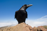Common Raven (Corvus Corax) Perched on Rock  La Caldera De Taburiente Np  La Palma  Canary Islands