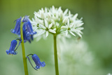 Wild Garlic and Bluebell in Flower  Beech Wood  Hallerbos  Belgium