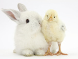 White Rabbit and Yellow Bantam Chick