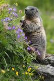 Alpine Marmot (Marmota Marmota) Standing on Hind Legs Feeding on Flowers  Hohe Tauern Np  Austria