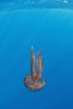True Jelly Fish (Pelagia Noctiluca) Pico  Azores  Portugal  June 2009
