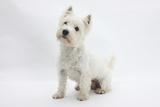 West Highland White Terrier Sitting