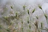 Raindrops on Ovate Goat Grass (Aegilops Geniculata) Monte Titano  San Marino  May 2009