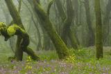 Laurisilva Forest  Laurus Azorica Among Trees and Geraniums (Geranium Canariensis) La Gomera  Spain
