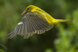 Golden Oriole (Oriolus Oriolus) Female in Flight to Nest  Bulgaria  May 2008