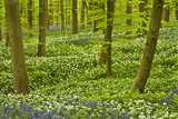 Wild Garlic and Bluebell Carpet in Beech Wood  Hallerbos  Belgium