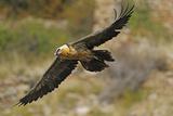 Lammergeier (Gypaetus Barbatus) in Flight  Serra De Beumort  Gerri De La Sal  Catalonia  Spain