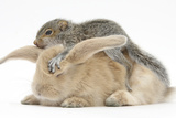 Young Grey Squirrel and Sandy Rabbit Papier Photo par Mark Taylor