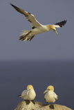 Northern Gannet (Morus Bassanus) Flying over Two on Rock  Saltee Islands  Ireland  June 2009