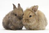 Two Baby Lionhead-Cross Rabbits