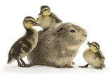 Guinea Pig and Three Mallard Ducklings