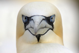 Gannet (Morus Bassanus) Head Portrait  Saltee Islands  Ireland  June 2009 Wwe Book