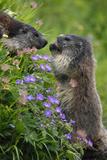 Alpine Marmots (Marmota Marmota) Feeding on Flowers  Hohe Tauern National Park  Austria  July 2008