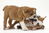 Two Playful Bulldog Puppies  11 Weeks