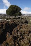 Kermes Oak (Quercus Coccifera) Kritsa  Crete  Greece  April 2009