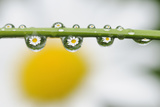 Mountain Daisy (Leucanthemum Adustum) Seen Multiple Times in Water Droplets on a Blade of Grass