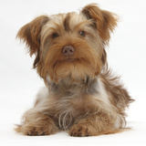 Yorkshire Terrier X Poodle Puppy  Swede