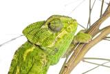 Common Chameleon (Chameleo Chameleo) in Retama Bush  Huelva  Andalucia  Spain  April 2009
