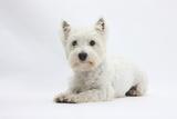 West Highland White Terrier Lying