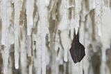 Lesser Horseshoe Bat Hibernating Amongst Stalactites  Grotta Monte Majore  Gennargentu Np  Sardinia
