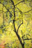 Birch Tree (Betula) by the Oulanka River  Finland  September 2008