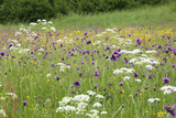 Flowering Meadow with Thistles (Cirsium Rivulare) Poloniny Np  Western Carpathians  Slovakia