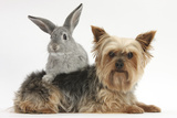 Yorkshire Terrier and Young Silver Rabbit