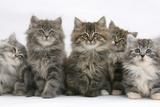 Five Maine Coon Kittens  8 Weeks