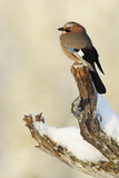 Eurasian Jay (Garrulus Glandarius) Perched on Branch in Snow  Flatanger  Norway  November 2008