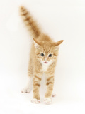 Ginger Kitten with Tail in the Air