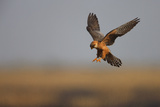 Female Red Footed Falcon (Falco Vespertinus) Hunting  Crimea  Ukraine  July