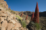Red Giant Tajinaste - Mount Teide Blugloss (Echium Wildpretii) Flowers  Teide Np  Canary Islands