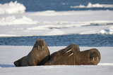 Three Walrus (Odobenus Rosmarus) Resting on Sea Ice  Svalbard  Norway  August 2009