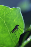 A Long-Legged Fly (Neurigona Quadrifasciata) Silhouetted Against an Ivy Leaf (Hedera Helix) UK