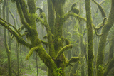 Laurisilva Forest  Laurus Azorica Among Other Trees in Garajonay National Park  Canary Islands  May