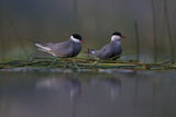 Whiskered Tern (Chlidonias Hybrida) Pair on Nest  Lake Skadar  Lake Skadar Np  Montenegro  May 2008