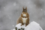 Red Squirrel Sitting on Snow Covered Tree Stump  Glenfeshie  Cairngorms Np  Scotland  February