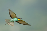 European Bee-Eater (Merops Apiaster) in Flight  Bulgaria  May 2008