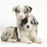 Merle Border Collie Puppies