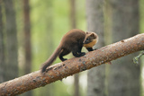 Pine Marten (Martes Martes) 4-5 Month Kit Walking Along Branch in Caledonian Forest  Scotland  UK
