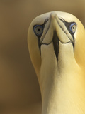 Northern Gannet (Morus Bassanus) Portrait  Saltee Islands  Ireland  May 2008