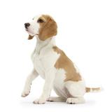 Orange-And-White Beagle Pup  Sitting Portrait