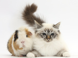 Tabby Point Birman Cat and Guinea Pig  Gyzmo