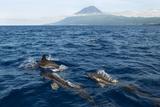 Common Dolphins (Delphinus Delphis) Porpoising  Pico  Azores  Portugal  June 2009